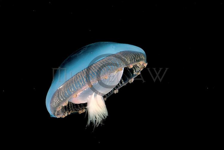 Medusae.Aequorea sp..Celebes Sea