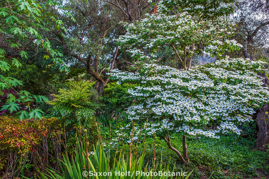 Viburnum plicatum, white flowering Doublefile Viburnum shrub in Marin Art and Garden Center