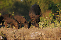 Feral Pig (Sus scrofa), mother with young, Fennessey Ranch, Refugio, Corpus Christi, Coastal Bend, Texas Coast, USA