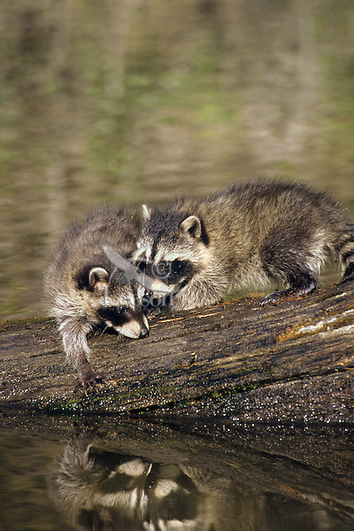 Raccoon (Procyon lotor) young cubs playing as they wait for mom as she hunts along edge of pond.  Western U.S.