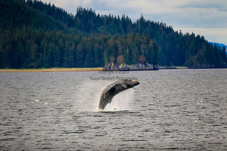 Humpback Whales bubble net feeding south of Morris Reef, Inside Passage, Alaska, USA