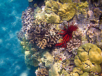 Coral and red pencil urchins at Ho'okena Beach Park, Big Island.