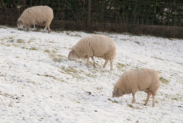 Sheep farm animals in thick wool coats in winter snow in field, eating grass, symmetry of more than one
