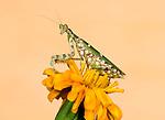 Indian Flower Mantis, Creobroter meleagris, Bandhavgarh National Park, mantid on yellow flower.India....