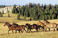 Wild Horse herd.  Pryor Mountains, Montana..(Equus caballus)
