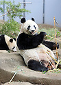 Giant panda Xiang Xiang and her mother Shin Shin at Ueno Zoological Gardens