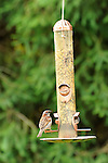 Bird feeder with English Sparrow