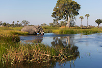 Elephant crosses waterway in the Okovango Delta, Botswana, Africa
