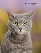 Kim, ANIMALS, REALISTISCHE TIERE, ANIMALES REALISTICOS, cats, photos,+Blue-grey tabby male cat, Pippin, 4 years old.,++++,GBJBWP38089,#a#