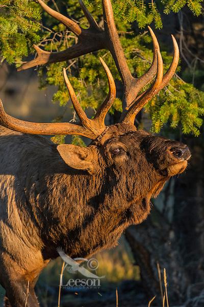 Rocky Mountain Elk Bull (Cervus canadensis nelsoni) acting aggressive.  Northern Rockies.  October.