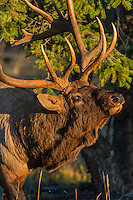 Rocky Mountain Elk Bull (Cervus canadensis nelsoni) acting aggressive.  Northern Rockies.  October.