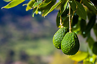 Unripe avocados are seen growing on a tree at a plantation near Sonsón, Antioquia department, Colombia, 16 October 2019. Over the past decade, the Colombian avocado industry has experienced massive growth, both as a result of general economic development in Colombia, and the increased global demand for so-called superfood products. The geographical and climate conditions in Antioquia (high altitude, no seasonal extremes, high precipitation rate) allow two harvest windows of the Hass avocado variety across the year. Although the majority of the Colombian avocado exports are destined towards Europe now, Colombia aspires to become one of the major avocado suppliers to the U.S. market in the near future.