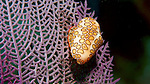 Cyphoma gibbosum, Flamingo tongue, Florida Keys