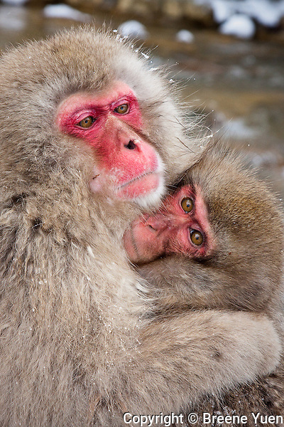 A Snow Monkey Mom embraces her child at Jigokudani National Park, near Nagano, Japan, February 2008