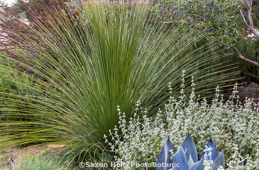 Dasylirion longissima (Mexican Grass Tree) with Helichrysum petiolare in summer-dry garden Santa Barbara California