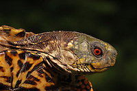 Western Ornate Box Turtle (Terrapene ornata ornate)