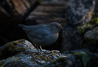 An American Dipper (Cinclus mexicanus) in an alpine stream in the Talkeetna Mountains of Alaska. Photo by James R. Evans Photo by James R. Evans