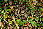 Semipalmated plover, Alaska