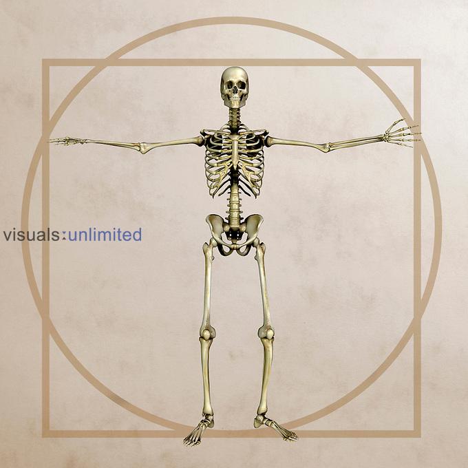 Anatomical illustration in the style of Leonardo da Vinci's vitruvian man