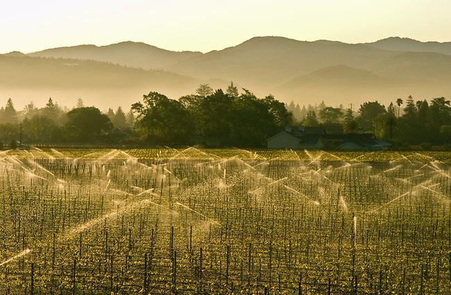 Sprinklers water vineyard in St. Helena