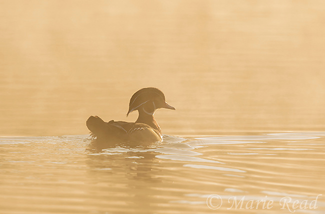 Wood Duck (Aix sponsa), male silhouette on misty morning, New York, USA