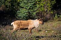 Mountain Caribou or Woodland caribou male (Rangifer tarandus) Western mountains, North America. June.