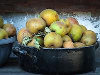 Germany, Upper Bavaria, Chiemgau, Sachrang: gathered apples from a traditional orchard | Deutschland, Bayern, Oberbayern, Chiemgau, Sachrang: gepflueckte Aepfel von der Streuobstwiese