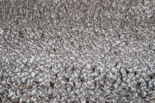 Red Knot flock. Snettisham, UK.