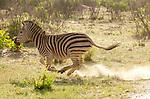 Plains zebra (Equus quagga), Hwange National Park, Zimbabwe
