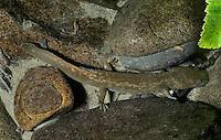 Cope's Giant Salamander<br /> Dicamptodon copei<br /> WA, Olympic NP