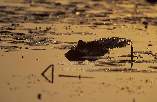 American Alligator, Alligator mississipiensis, adult at sunrise, Welder Wildlife Refuge, Sinton, Texas, USA, June 2005