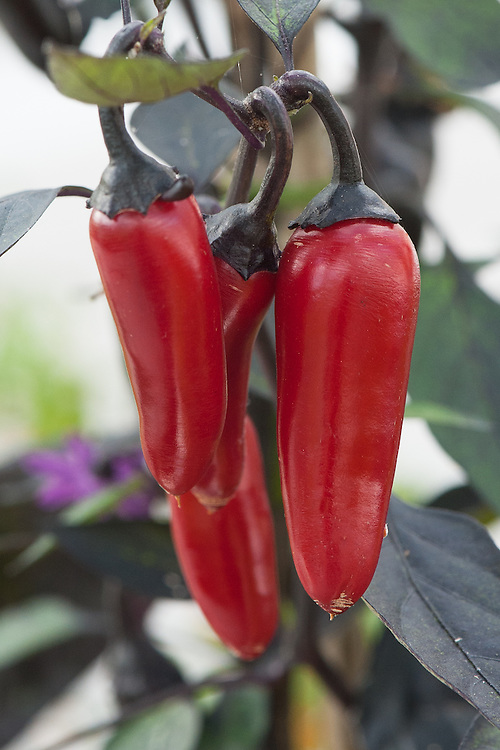 Chilli 'Count Dracula', glasshouse, late September. A medium-hot chilli that starts black - like the foliage - and turns to blood red as it ripens.