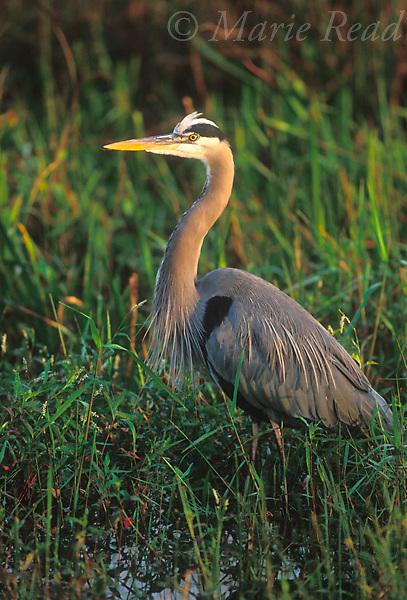 Great Blue Heron (Ardea herodias) adult, Everglades National Park, Florida, USA<br /> Slide # B17-78