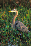 Great Blue Heron (Ardea herodias) adult, Everglades National Park, Florida, USA<br /> Slide # B17-78