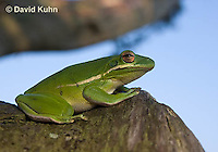 1218-1005  American Green Treefrog Sitting on Tree, Hyla cinerea  © David Kuhn/Dwight Kuhn Photography