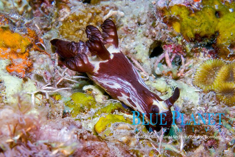 Slug, Nembrotha mullineri, Puerto Galera, Mindoro, Philippines, Indo-Pacific Ocean