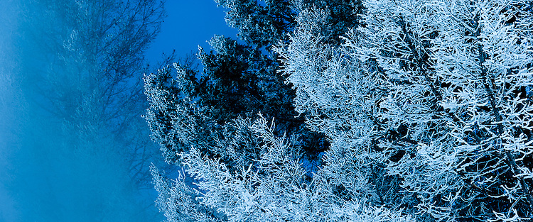 Hoarfrost on Pines at sunset, Mammoth Hot Springs, Upper Terrace, Yellowstone NP