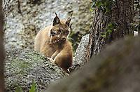 Europäischer Luchs, Muttertier, Weibchen trägt ihr Junges, Jungtier im Maul, Eurasischer Luchs, Nordluchs, Nord-Luchs, Felis lynx, Lynx lynx, lynx, Lynx d`Europe