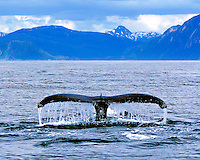 Whale Tail of Humpback whale with water streaming off it while taking a dive into ocean in Sitka Alaska with rolling hills in the background.