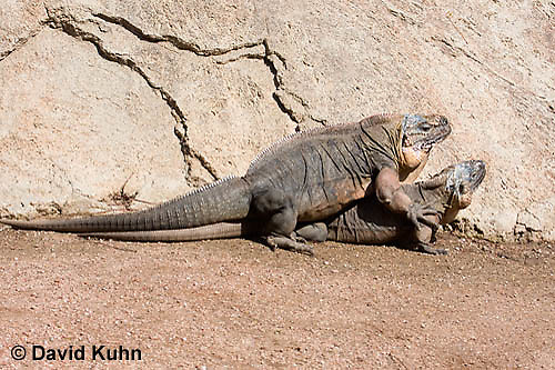 0629-1104  Mating Exuma Island Iguana (Northern Bahamian Rock Iguana), Bahamas, Cyclura cychlura figginsi  © David Kuhn/Dwight Kuhn Photography