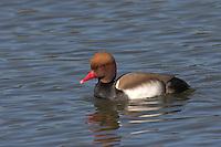 Kolbenente, Kolben-Ente, Männchen, Erpel, Netta rufina, Red-crested Pochard, Nette rousse