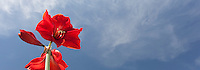 A red Amaryllis blooms against a blue sky with wisps of clouds.  Image cropped to 88 X 31 aspect ratio.