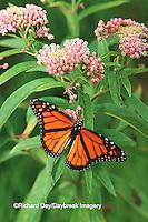 03536-00614 Monarch (Danaus plexippus) on Swamp Milkweed (Asclepias incarnata) Marion Co., IL