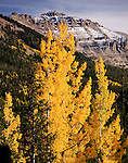 Autumn aspens, Mt. Hayden, High Uintas Wilderness
