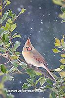 01530-206.07 Northern Cardinal (Cardinalis cardinalis) female in American Holly tree (Ilex opaca) in winter, Marion Co., IL
