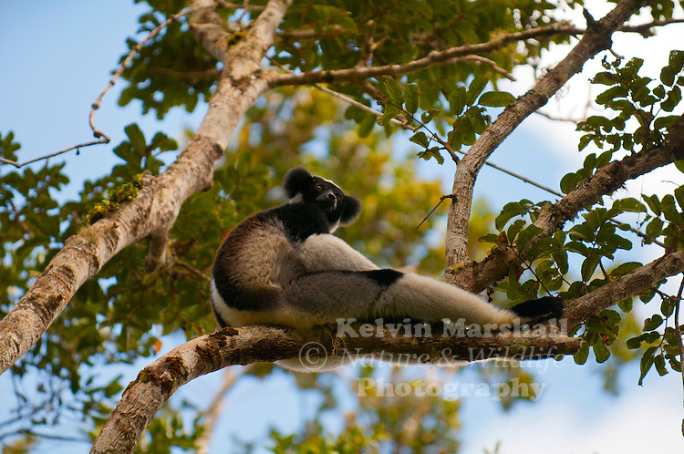 The largest living lemur is the Indri (Indri indri) of the montane forests of eastern Madagascar. In coloration, it resembles a giant panda with its black and white fur, but in body shape is more anthropomorphic with its long neck and arms, and small ears. The Indri feeds on canopy fruits and leaves and is best known for its eerie yet beautiful song, which can carry for more than 1.2 miles (2 km). This diurnal lemur will bark when confronted with danger, and make kissing sounds when affectionate. Despite its large size, the Indri refuses to move along the ground, and will negotiate gaps by leaping, often over 33 feet (10 m) between tree trunks. Andasibe National Park - Eastern Madagascar.