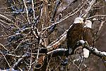 Bald eagle, Chilkat River Valley, Alaska