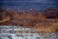 512666119 a large flock of sandhill cranes grus canadensis forage in a large pond in bosque del apache national wildlife refuge new mexico