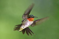 Ruby-throated Humming Birds