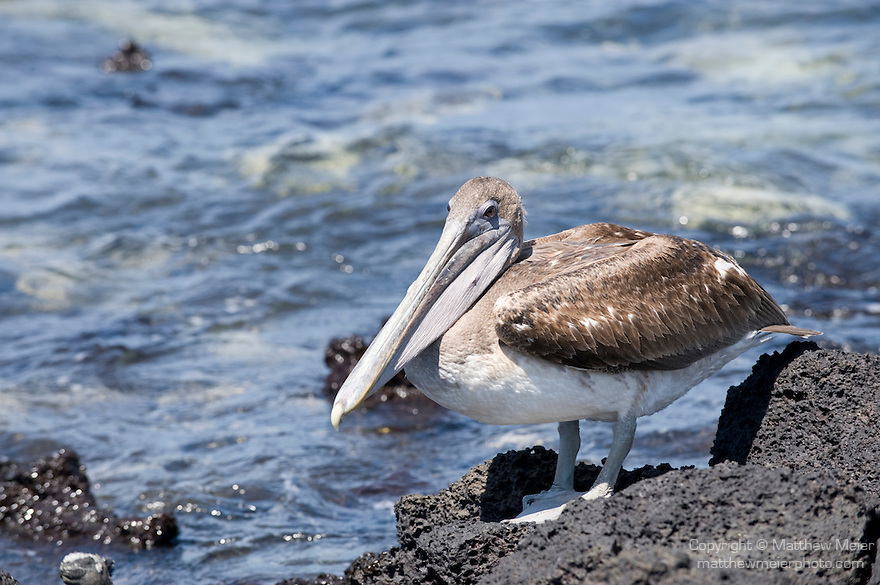 Puerto Ayora, Santa Cruz Island, Galapagos, Ecuador; Brown Pelican (Pelecanus occidentalis) bird on the volcanic rocks by the water's edge at the beach at the Charles Darwin Research Station , Copyright © Matthew Meier, matthewmeierphoto.com All Rights Reserved
